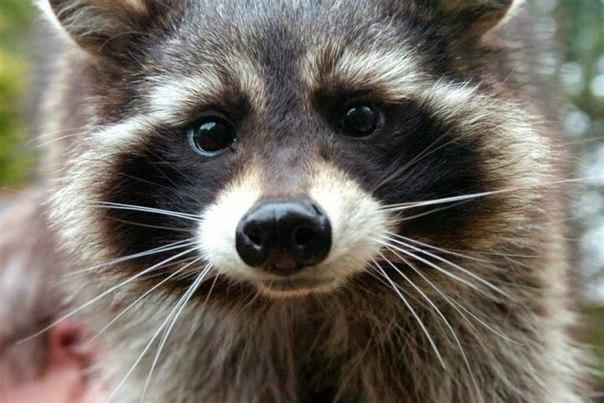 Happy Raccoon Images & Pictures - Becuo Raccoon Drawing Easy